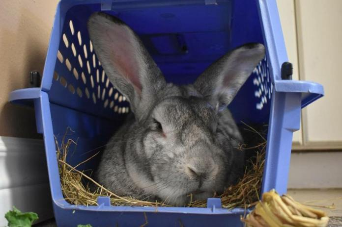 Two rabbits liberated in London