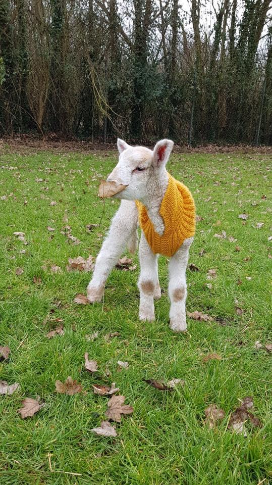 2 corderos liberados en Reino Unido