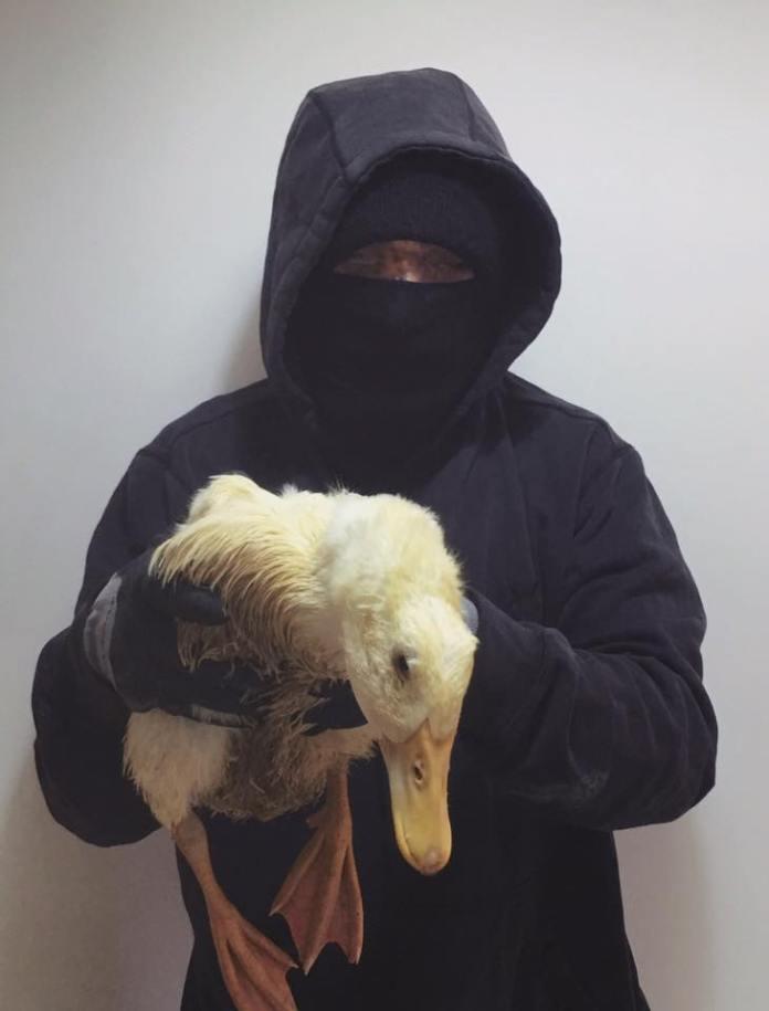 Pato liberado de una granja en Reino Unido.