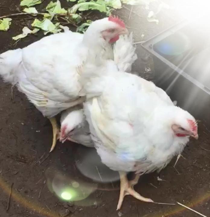 3 pollos liberados en Reino Unido.