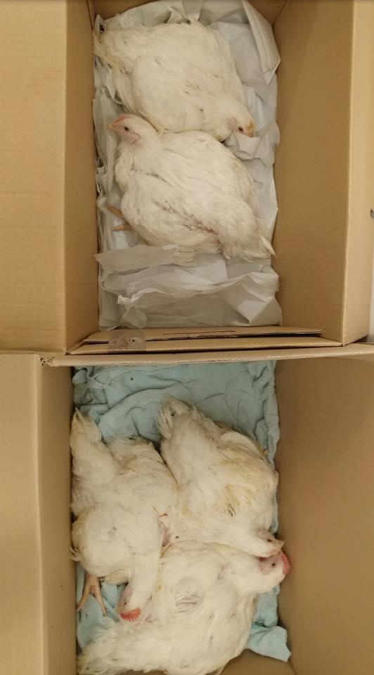 8 pollos liberados en Reino Unido.