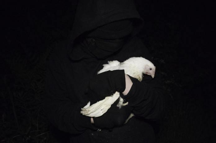 Liberados 10 pollos por el Frente de Liberación Animal en Reino Unido.