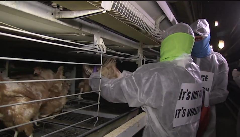 28 gallinas liberadas en Francia