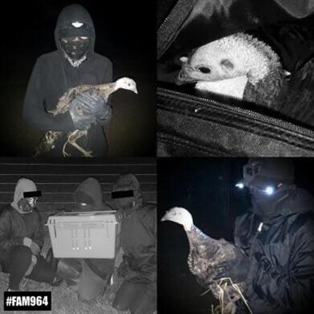 9 pavos liberados de una granja en Reino Unido.