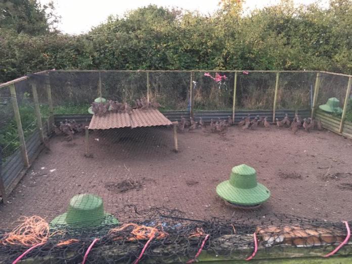 Varias jaulas de perdices fueron saboteadas y las aves liberadas en Reino Unido.