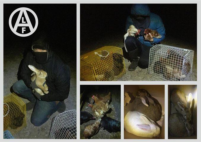el frente de liberación animal libera unas 30 hens y 5 conejos de una granja en italia.