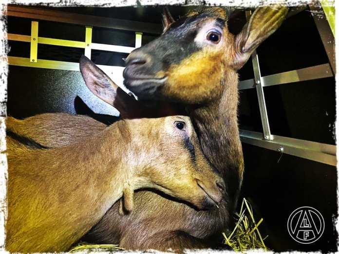 Cabras liberadas de una granja en Italia