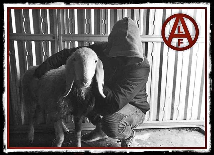 El Frente de Liberación Animal libera un cordero en Italia.