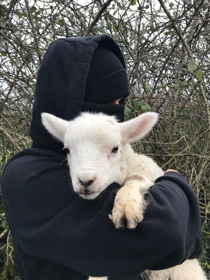 Corderos liberados fuera de la granja Little Oakhurst en Reino Unido.