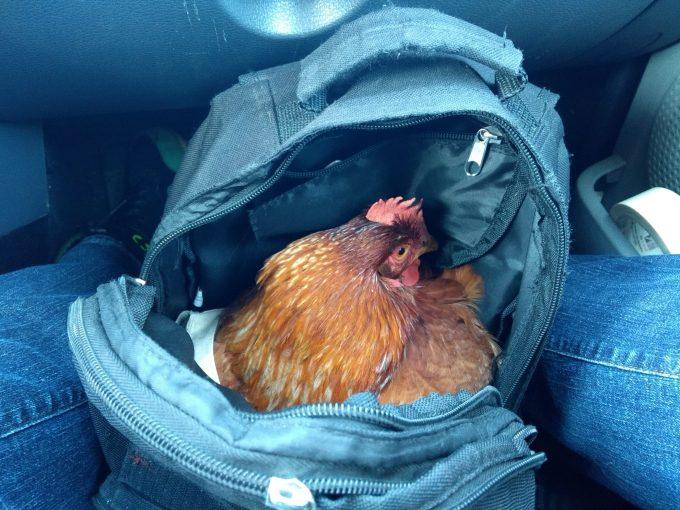Gallina liberada de un gallinero en Alemania.